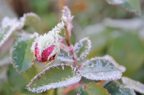 Frostig rosenknopp i trädgården